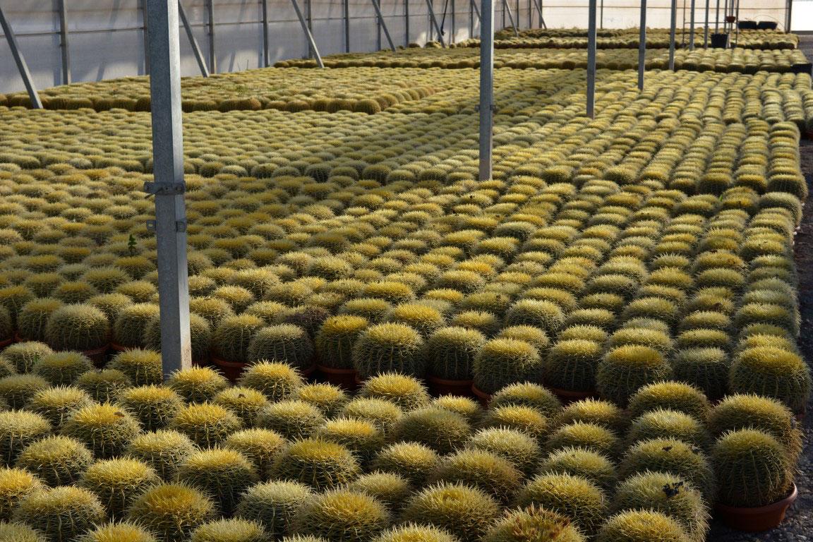 Echinocactus-grusonii-c