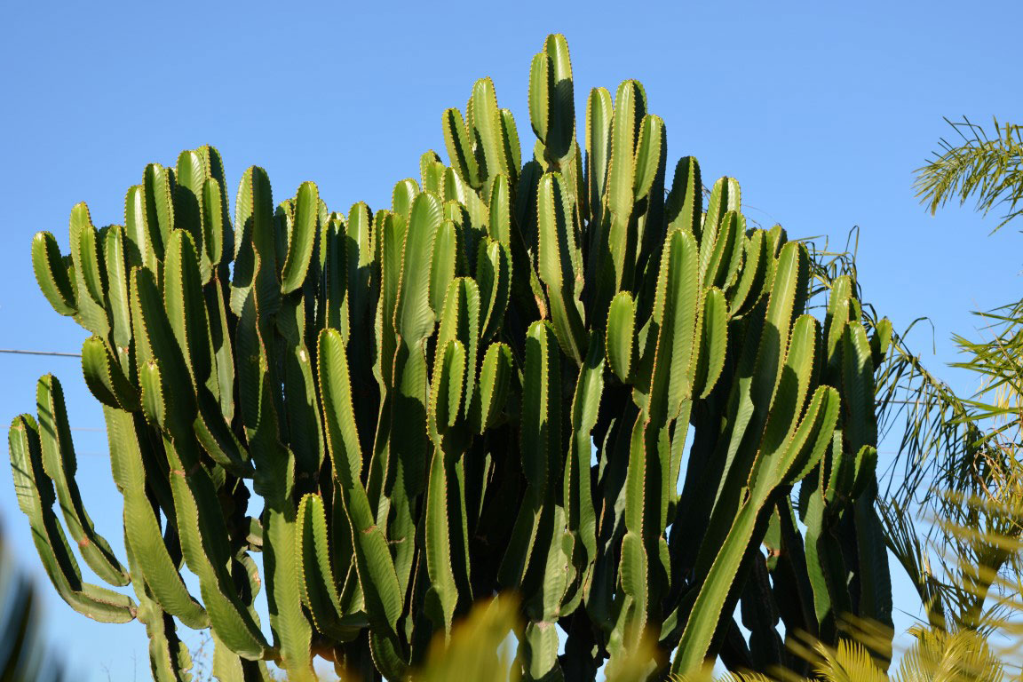 Euphorbia-ingens