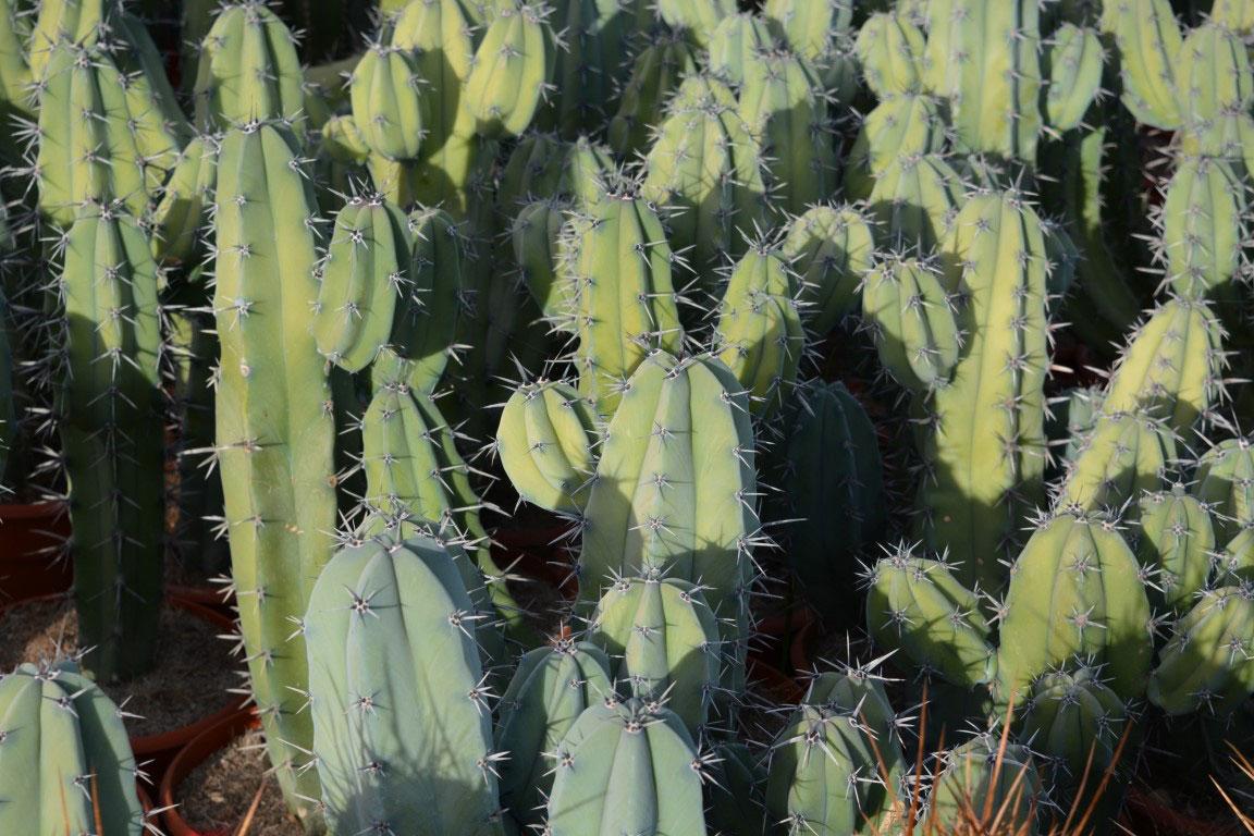Myrtillocactus-geometriznas-c