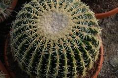 Echinocactus-curvispinus-c
