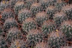 Ferocactus-coloratus-c