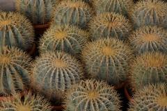 Ferocactus-glaucescens-c