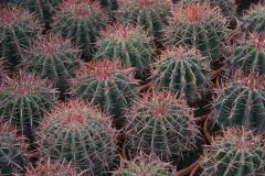 Ferocactus-stainesii-c