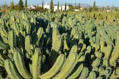 Myrtillocactus-geometrizans