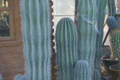 Pachycereus-rpinglei-c60