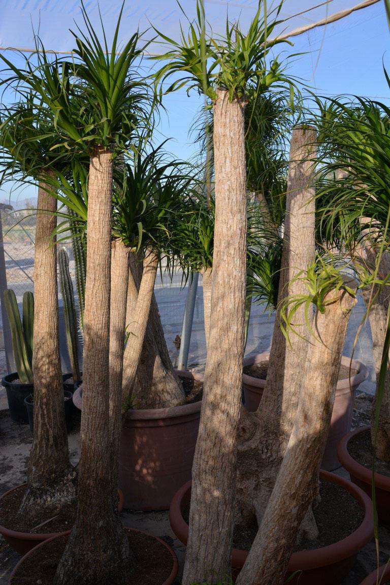Beucarnea-recurvata-c60