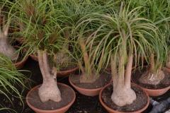 Beucarnea-recurvata-c